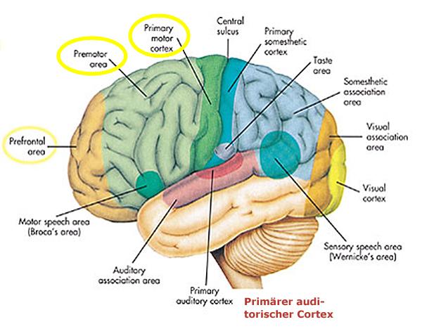 Unterschiedliche Teile des Gehirns und deren Funktionen